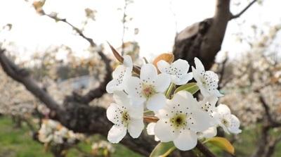 [영상]  '흰 꽃' 활짝 핀 남양주 농원