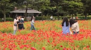 [영상] 제주 강풍주위보에도 끄덕없는 '꽃양귀비의 유혹'