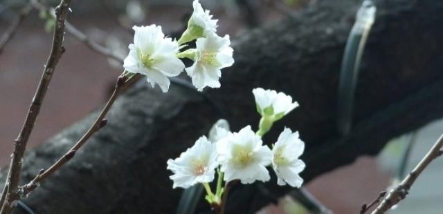 [영상] 쌀쌀한 10월…우리나라 추운데 도쿄는 벚꽃을 볼 수 있다고?