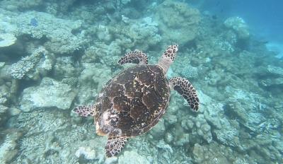 [사진] 몰디브 스노클링서 만날 수 있는 바다 거북 '신기해'