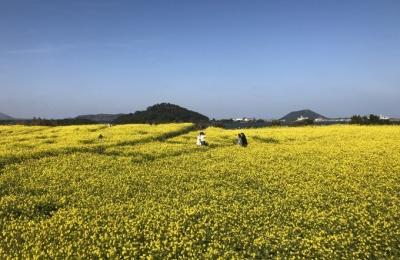 [사진] 제주 유채꽃밭에 찾아온 봄의 기운