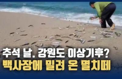 [영상] 추석날, 강원 고성군 동호리 해변 백사장에 밀려 온 멸치떼