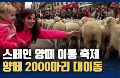 [영상] 스페인 마드리드,양떼 2000마리의 대이동